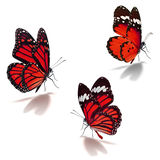 Three red monarch butterfly. Three orange monarch butterfly isolated on white background stock image
