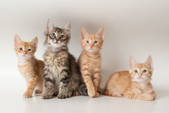 Three red and one grey kittens. Four kittens on a white isolated background look ahead royalty free stock image