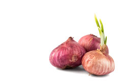 Three red onion with young shoots, flushed right. Closeup on group of red onion with young shoots isolated in white royalty free stock images
