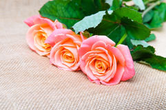 Three red-orange rose on the sacking. Three beautiful red-orange rose on the sacking Royalty Free Stock Image