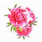 Three Red Peonies Isolated On White Background Blooming Stock Photography