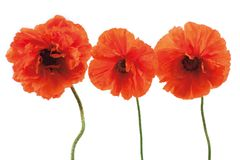 Three red poppies Royalty Free Stock Photos