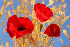 Three red poppies Royalty Free Stock Photo