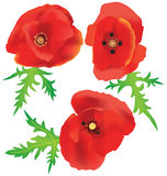 Three red poppies. Three beautiful poppies with leaves isolated Royalty Free Stock Images