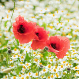 Three red poppies in a flower meadow Stock Photography