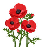 Three red poppies. Vector illustration. Royalty Free Stock Photography