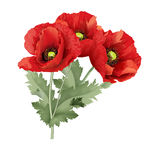 Three red poppy flower with green leaves. Royalty Free Stock Photography