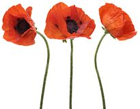 Three red poppy isolated on white background Stock Image
