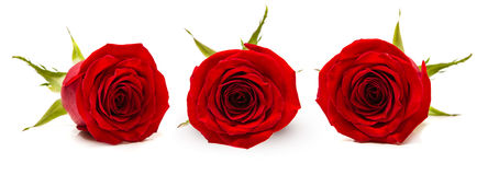 Three red rose Bud on white background.  Royalty Free Stock Photo