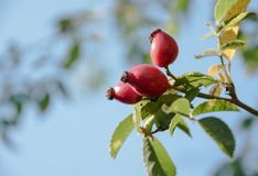 Three red rose hips on the bush against the blue sky with copy s royalty free stock photo