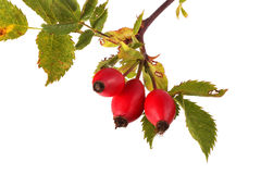 Three red rose hips and leaves Royalty Free Stock Photography