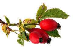 Three red rose hips and leaves Royalty Free Stock Images