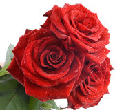 Three red roses. With water drops on the white background Stock Images
