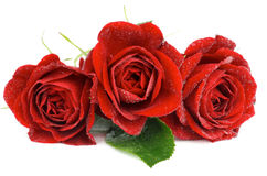Three Red Roses. Arrangement of Three Beautiful Red Roses with Leaf and Water Droplets isolated on white background Royalty Free Stock Photography