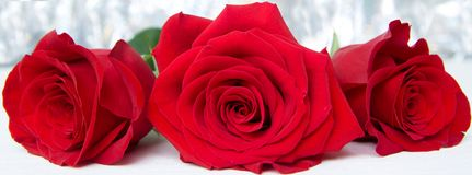 Three Red Roses with boke Background. copy space - Valentines and 8 March Mother Women's Day concept. Three Red Roses with boke Background. copy space royalty free stock image