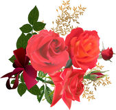 Three red roses and buds isolated on white Royalty Free Stock Photos