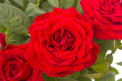 Three red roses closeup Royalty Free Stock Photos