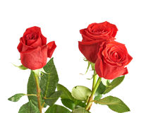 Three red roses composition. Isolated over the white background Stock Photo