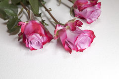 The Three red roses on a gray background Royalty Free Stock Image