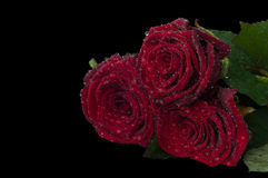 Three red roses with lots of dew drops on a black background. Royalty Free Stock Photos