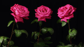 Three red roses. Panorama with three red roses with water drops Royalty Free Stock Photo