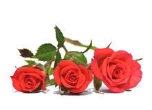Three red  roses on row isolated Stock Image
