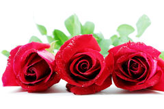 Three Red roses Stock Photography