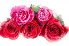 Three red roses and two pink roses with some green. A rose is a woody perennial flowering plant of the genus Rosa, in the family Rosaceae, or the flower it bears royalty free stock images