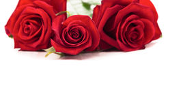 Three Red Roses on white background Royalty Free Stock Image