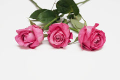 Three red roses on a white background Stock Images