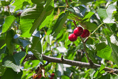A three red small cherries Royalty Free Stock Images