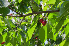 A three red small cherries Stock Image