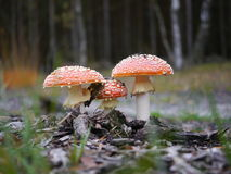 Three red toadstool. Three growing red toadstool on forest background Stock Images