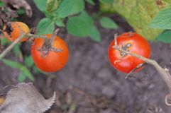 Three red tomatoes hanging and growing royalty free stock photos