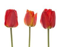 Three red tulip Royalty Free Stock Photo