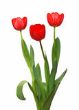 Three red tulip bunch Stock Image