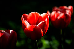 Three red tulip flowers in a diagonal row Stock Photo