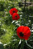Three red tulip flowers in a garden. royalty free stock photo
