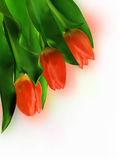 Three Red Tulip on White Background. Royalty Free Stock Images