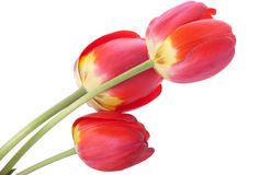 Three red tulips Royalty Free Stock Photo