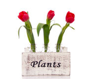 Three Red Tulips Royalty Free Stock Photography