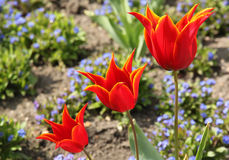 Three Red Tulips Royalty Free Stock Image