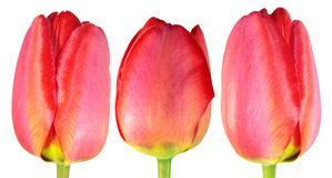 Three red tulips close-up isolated on white background Royalty Free Stock Image