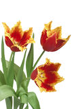 Three red tulips cutout. Bouquet of three red tulips with fringed petal edges of yellow. Isolated on white  with clipping path Stock Photo