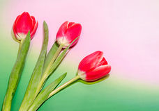 Three red tulips flowers, green to pink degradee background, close up. Royalty Free Stock Images