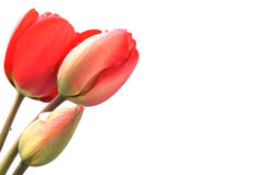 Three red tulips isolated Royalty Free Stock Photos