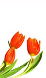 Three red tulips isolated. On white with plenty of copyspace Royalty Free Stock Image