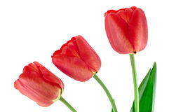Three red tulips. Isolated on a white background Stock Photos
