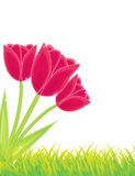 Three red tulips,vector Stock Photography