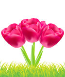 Three red tulips vector Stock Image